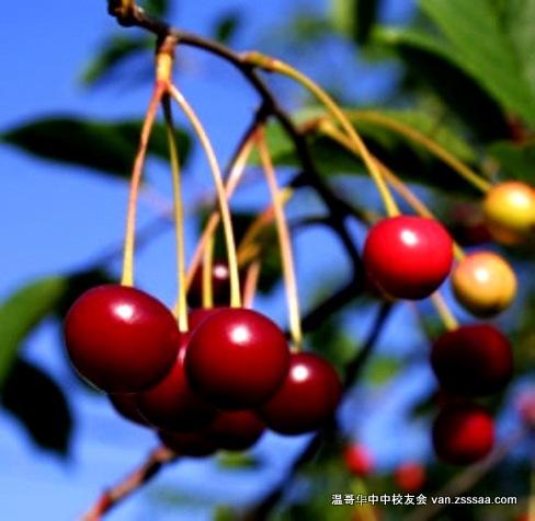 cherry_bing_big